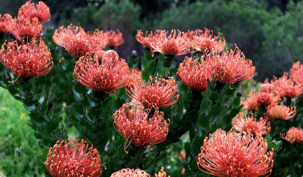 pincushion protea bush